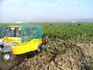 HYACINTH STILL A  MENACE IN LAKE VICTORIA'S KENYAN SIDE DESPITE SEVERAL ATTEMPTS TO RID IT OF THE WEED.